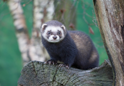 Polecat in Wales